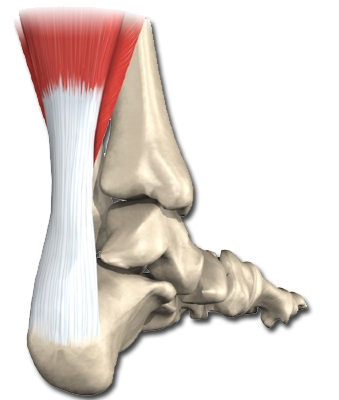 Physiozone | Achilles Tendon | Ankle | Calf