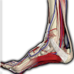 Physiozone | Achilles Tendon |
